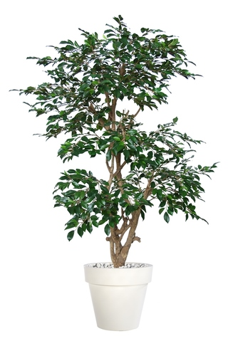Ficus Retusa Stylish